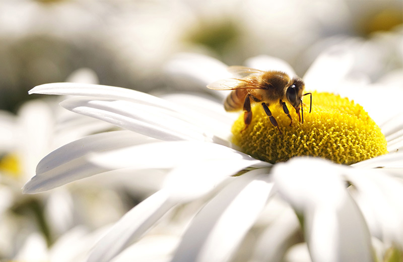 Honey Bee on a white and yellow flower