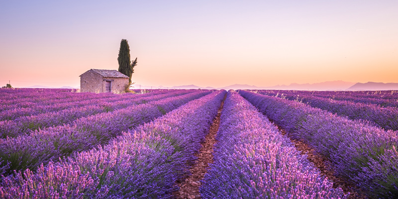 How to Care for Lavender fields in Provence, France at sunset with a stone building overlooking the herbs