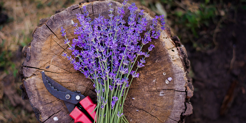 How to Care for Lavender Bouquet On a Wooden Stump in the Garden alongside a pair of red shears