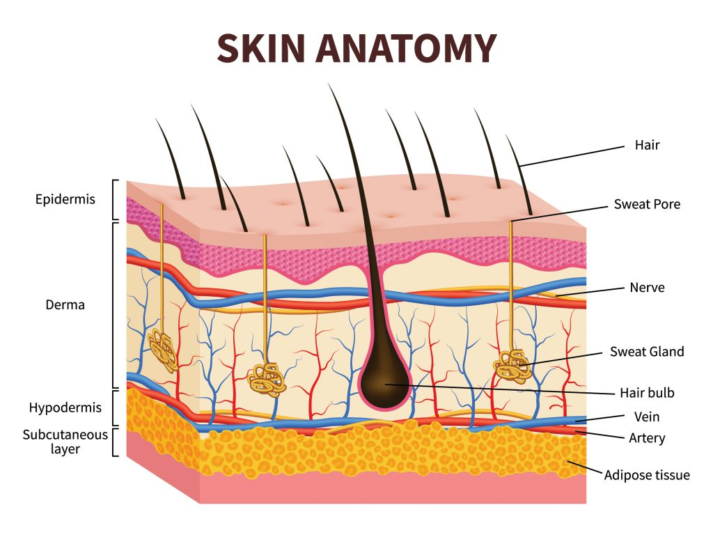 A graphic diagram of skin anatomy over three layers including hair follicle