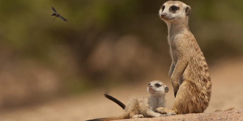 A photograph captures meerkat animal behaviour as a pup learns to hunt.