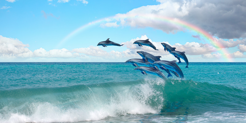 Dolphins leaping in an example of pod animal behaviour.