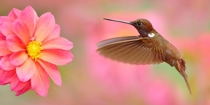 A hummingbird in flight demonstrating amazing animal behaviour.