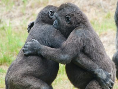 Baby gorillas dancing in an example of amazing animal behaviour.