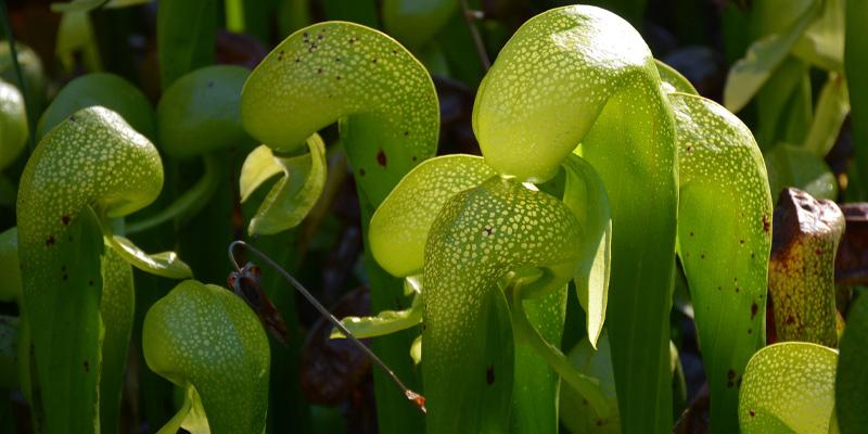carnivorous plants called Cobra Lilies On Oregon Coast