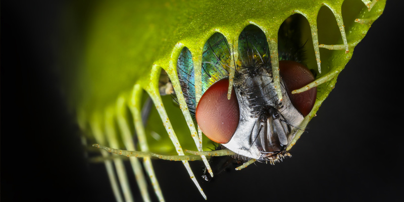 Carnivorous plants called the Venus Flytrap with Trapped Fly