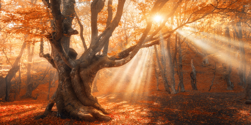 Magical old tree with sun rays in the morning in one of the forest biomes.
