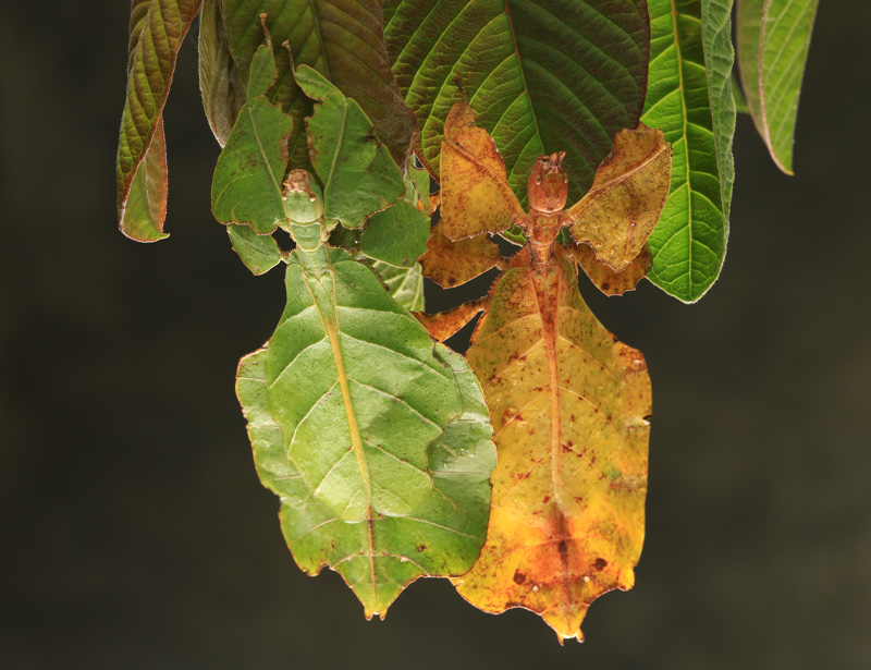 Leaf insects with their large, leathery fore wings.