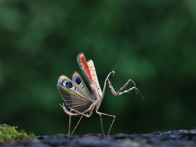 One of the male Peacock praying mantis insects (Pseudempusa pinnapavonis) in defensive display with colourful wings.