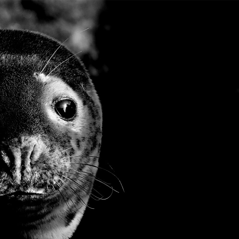 Portrait of a seal taken by Scott Duffield that has been selected as finalist for the Outdoor Photo of the Year 2021.