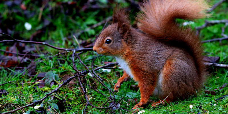 Portrait of a red squirrel taken by Scott Duffield, a photographer who has been selected as finalist for the Outdoor Photo of the Year 2021.