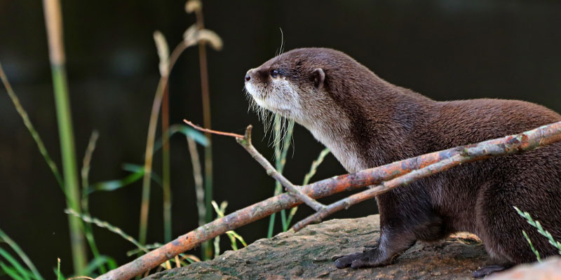 Portrait of an otter taken by Scott Duffield, a photographer who has been selected as finalist for the Outdoor Photo of the Year 2021.